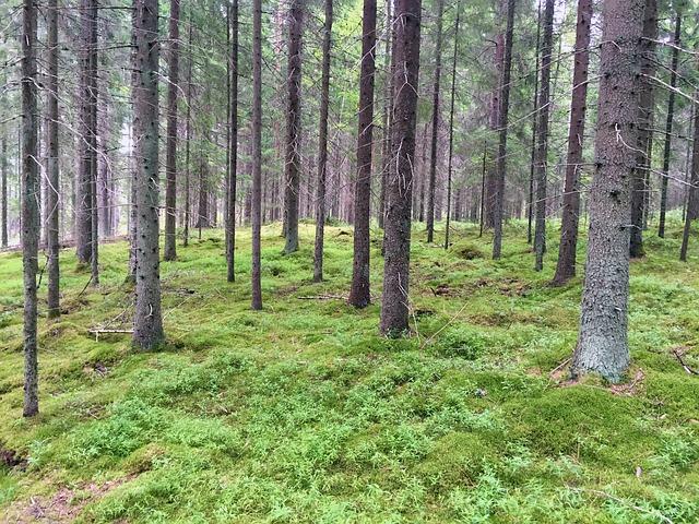 Suomalainen metsä, jossa kasvaa mäntyjä.